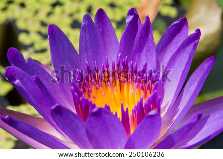 close up purple lotus flower to center as background - stock photo