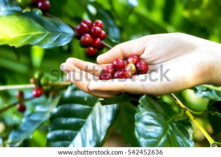 Close up red berries coffee beans on agriculturist hand background.