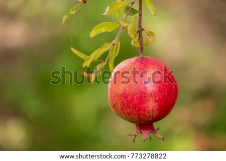 close up red pomegranate in nature