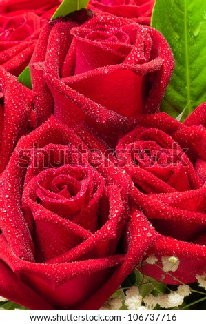 close up red roses with water drop - stock photo