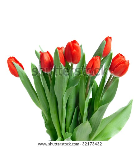 close-up red tulips isolated on white - stock photo