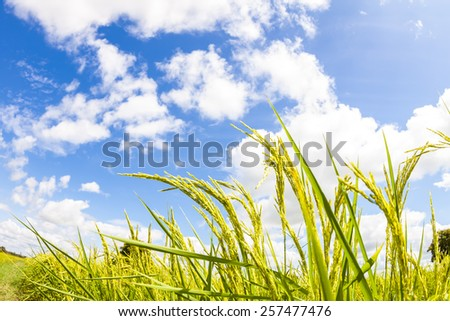 Close-up rice against  the blue sky Shot on nature. - stock photo