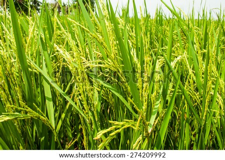 close-up  rice fields - stock photo
