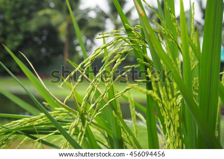 close up rice plant show green leaf and rice with hard peel, there are river background in summer time in Thailand - stock photo