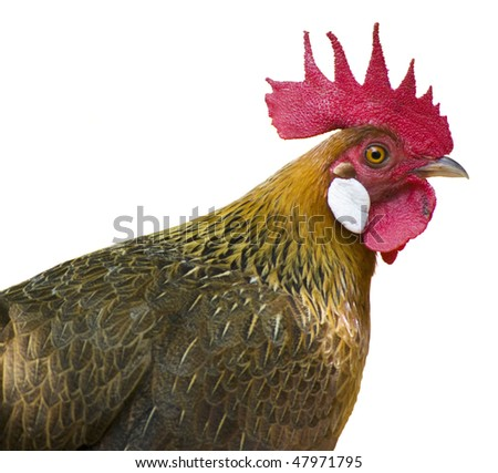 Close up rooster on white background. - stock photo