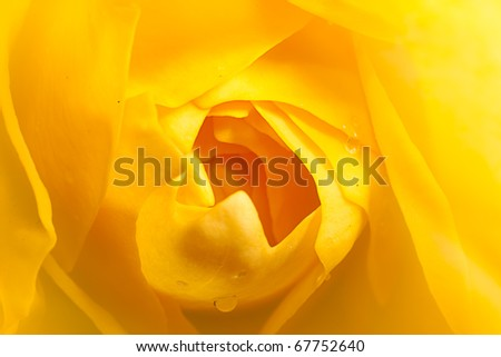 close up rose with nice color - stock photo