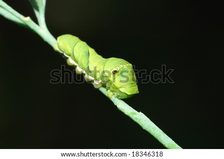 Close-up shoot of green papilio larva in black background.