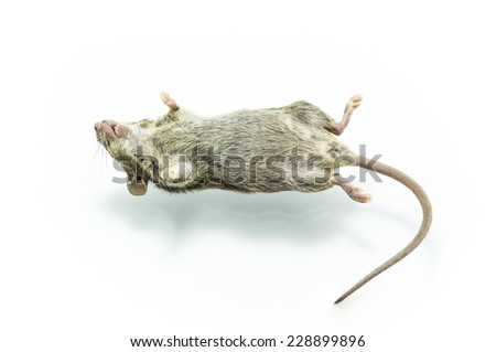 Close up shot dead rat on isolate white background.