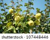 close up shot from a quince tree - stock photo