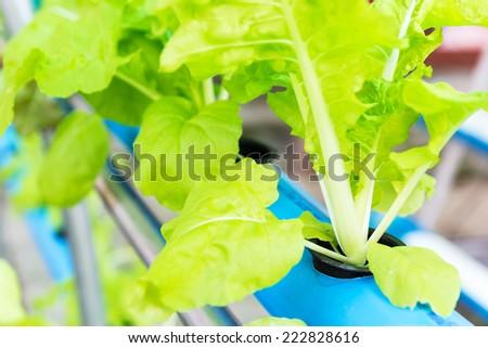 Close up shot hydroponic vegetable farm - stock photo