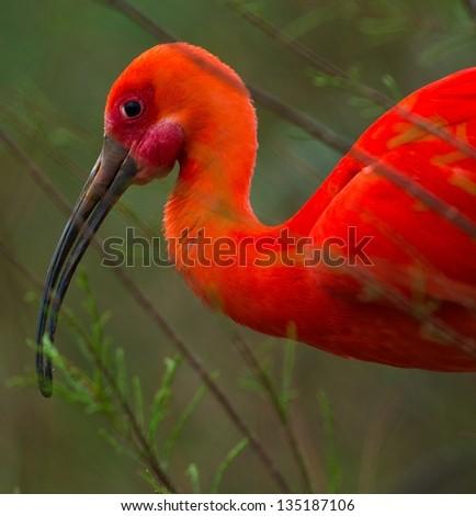 Close-up shot of a beautiful scarlet ibis - stock photo