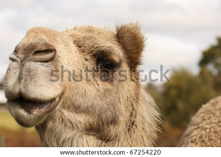 Close up shot of a camel - stock photo