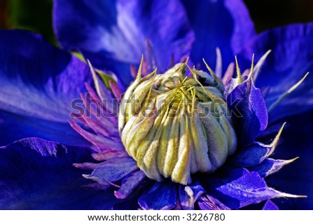 "Close-up shot of a ""Clematis"". - stock photo"