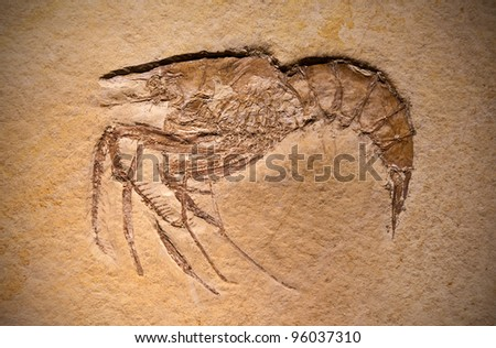 Close-up shot of a fossil of a prehistoric shrimp. - stock photo