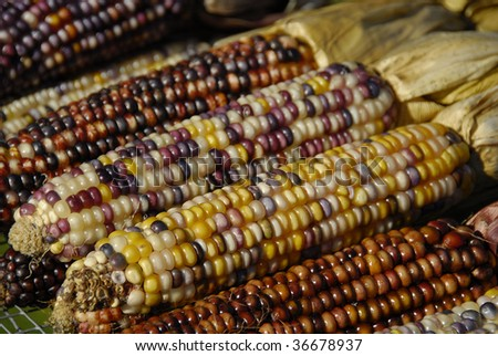 Close up shot of a freshly plucked  Indian corn - stock photo