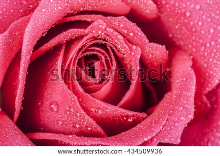close-up shot of a red rose in fresh blossom with droplets - stock photo