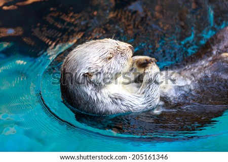 Close up shot of a sea otter - stock photo
