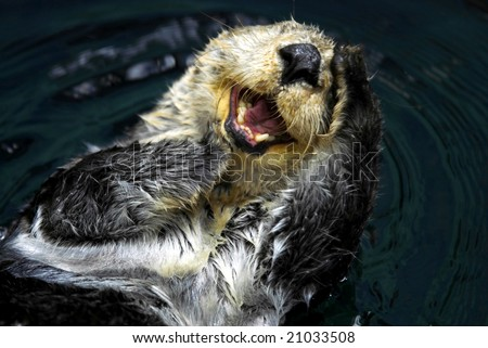 Close up shot of a Sea Otter (Enhydra Lutris) - stock photo