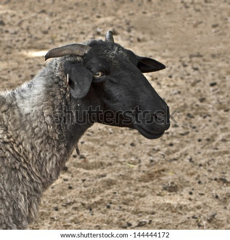 Close-up shot of a sheep - stock photo