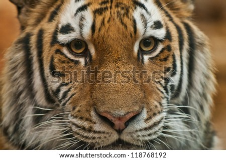 Dangerously Close Portrait Tiger Before Attack Stock Photo ...