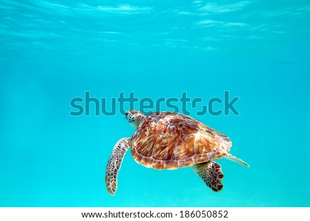 Close-up shot of a turtle under water, shallow focus. Riviera Maya, Mexico - stock photo