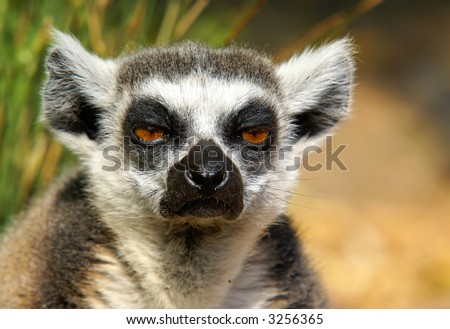 "Close-up shot of a very bored ""ring-tailed"" lemur. - stock photo"
