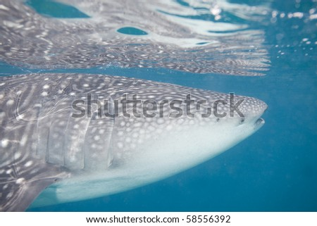 Close-up shot of a whale shark - stock photo