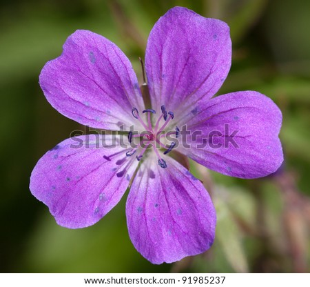 Close-up shot of a Wood Cranesbill or Woodland Geranium flower (Geranium sylvaticum) - stock photo