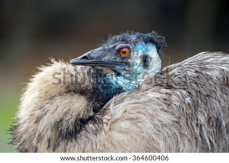Close-up shot of an Emu Bird - stock photo