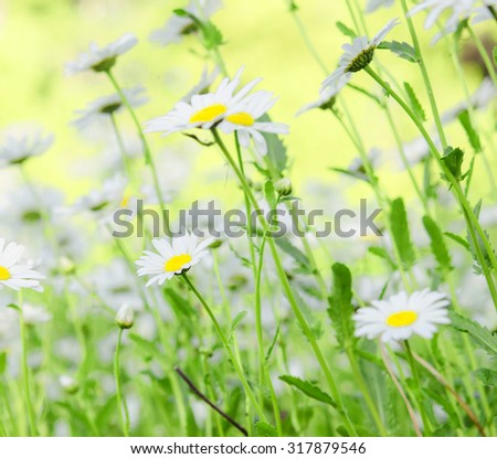 close up shot of camomiles - stock photo
