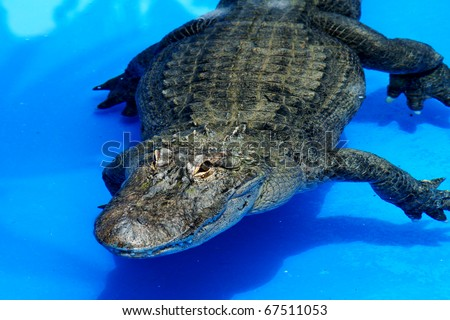 close-up shot of crocodile in blue water - stock photo