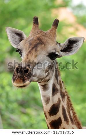 Close up shot of giraffe head - stock photo