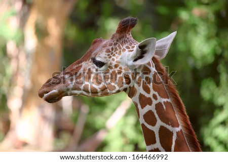 Close up shot of giraffe head  - stock photo