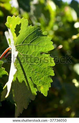 Close up shot of grape leaf backlit by the sun. Clear view of delicate vein structure.