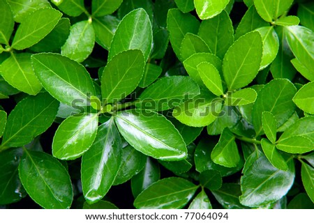 Close-up shot of green bush after rain - stock photo