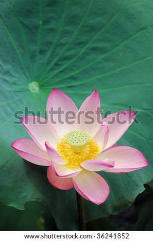 Close up shot of pink lotus.Look at my gallery for more lotus. - stock photo
