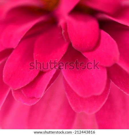 close-up shot of red Chrysanthemums flower