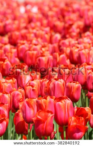 Close up shot of red Tulip flowers - stock photo
