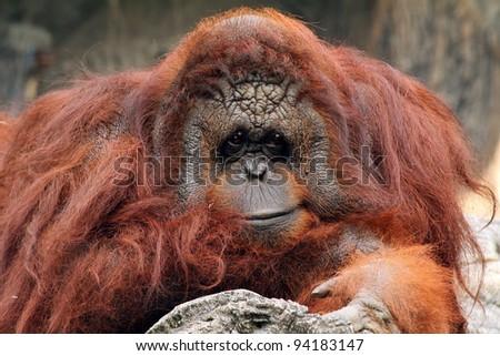 Close up shot of smiling Orangutan - stock photo