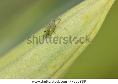 close up shot of tiny mosquito on green leaf - stock photo