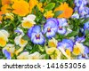 Close-up shot of violet purple pansy flowers with dew drops - stock photo