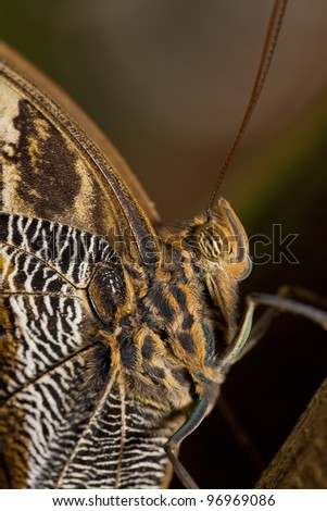 Close-up shot on a owl butterfly. - stock photo