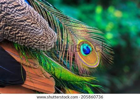 close up shot on colorful peacock feather. - stock photo