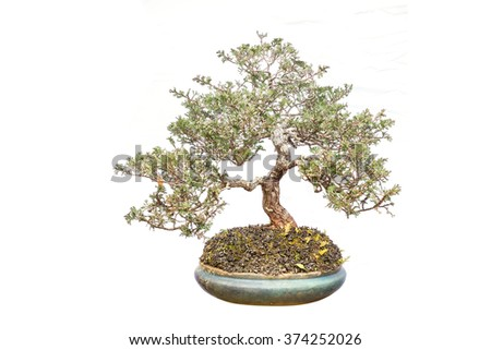 Close up shot Thai bonsai in plant box isolate white background - stock photo