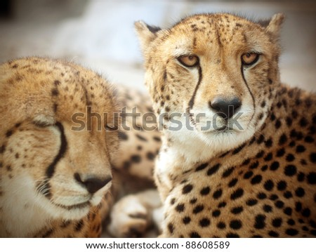 Close-up shots of the leopard - stock photo