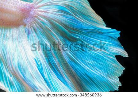 Close up siamese fighting fish - stock photo