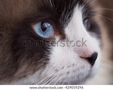 Close up Side Angle Facial Macro of Bi Color Brown White Ragdoll Cat with Blue Eyes and Black Button Nose and Long Whiskers Looking to The Side  - stock photo