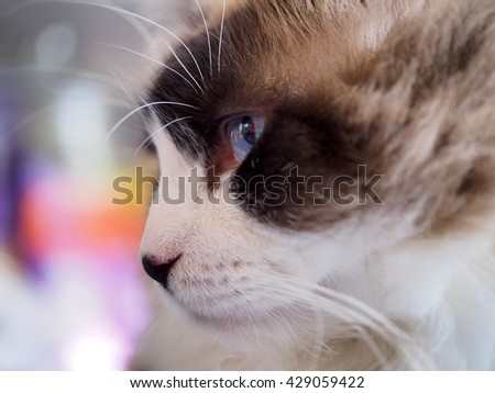 Close up Side Angle Facial Macro of Long Hair Brown White Bi Color Ragdoll Cat with Blue Eyes and Black Button Nose and Long Whiskers Looking to The Side  - stock photo