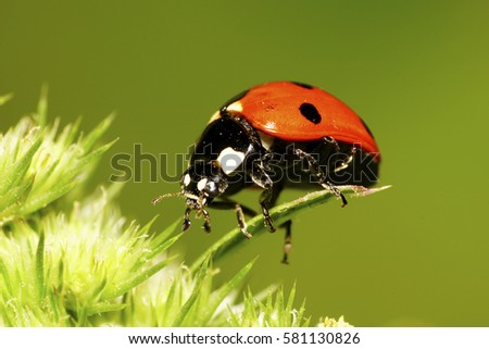 Close-up side view of a big red seven-spotted ladybug big Caucasian with black and white spots on the elytra, legs, antennae has risen long legs in green inflorescence