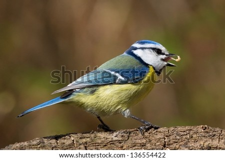 Close up side view of a bluetit with food in the open beak - stock photo